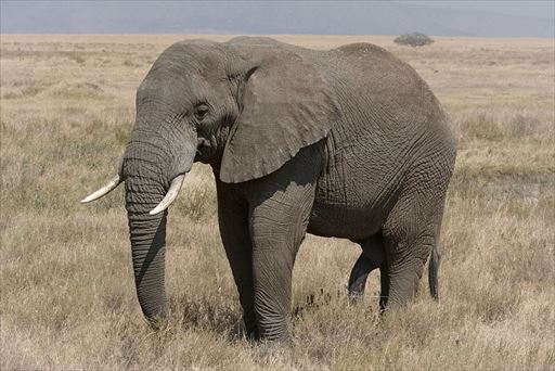 1024px-Serengeti_Elefantenbulle_R.jpg