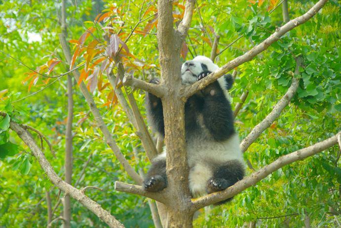 木登りパンダ_R