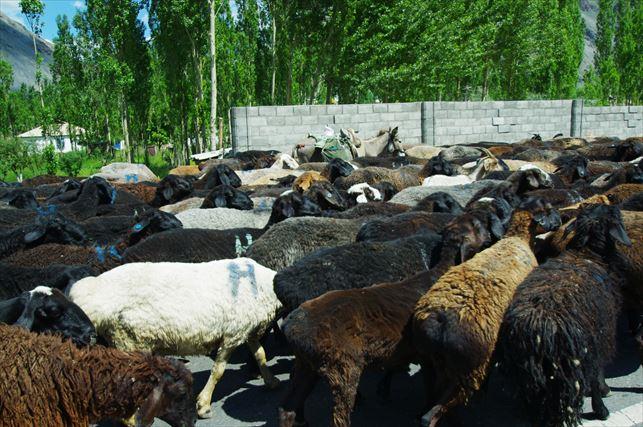 羊の大群に遭遇! (10)_R