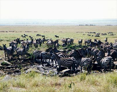 800px-Zebras_at_Masai_Mara_R.jpg